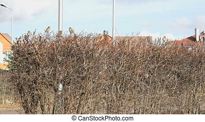 A lot of sparrows sitting in bush