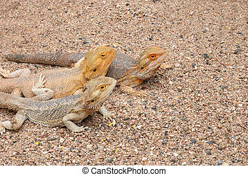 Bearded dragons - Three bearded dragons