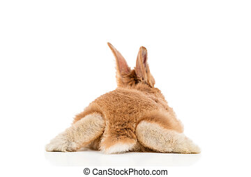 Red rabbit, back view - Small red rabbit lying on his...
