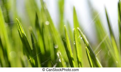 Fresh green blades of grass in rain.