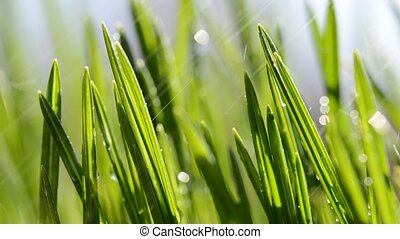 Fresh green blades of grass in rain. - Fresh green blades of...