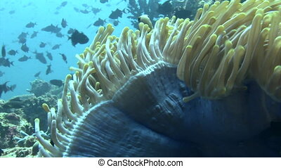 Actinia anemone on background school of fish underwater in sea of Maldives.