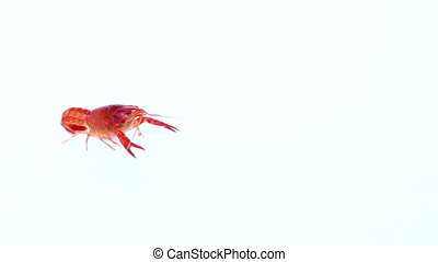 red Crayfish on isolated - close up red Crayfish on isolated