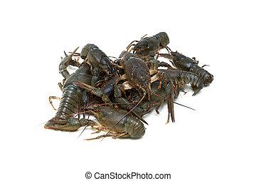 Live crayfish isolated on white background. Horizontal...