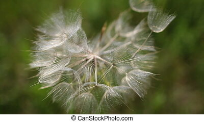 dandelion seeding - dandelion seeds blowing in wind 1080p