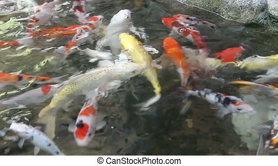 Beautiful Koi, Fancy Carp Swimming In A Pond