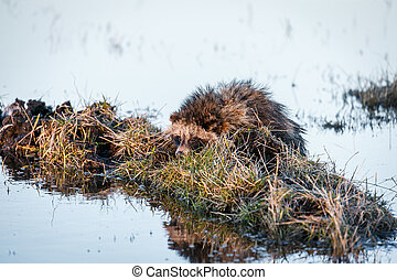 Raccoon Dog on a Hummock on a Swamp - Raccoon Dog...