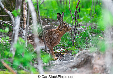 Wild Hare Sitting in a Green Grass - European Hare Feeding...