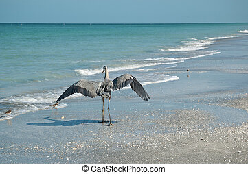 Great Blue Heron and Shorebirds on a Florida Beach - A Great...