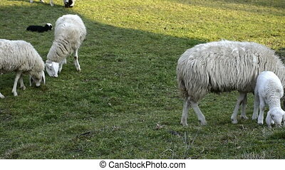 Flock of sheep grazing on a field of farmland. - Flock of...