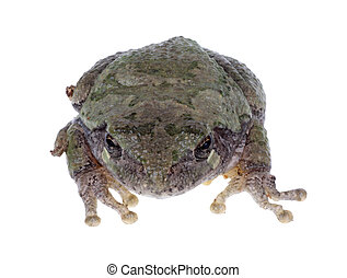 Eastern Gray Treefrog, Hyla versicolor, isolated