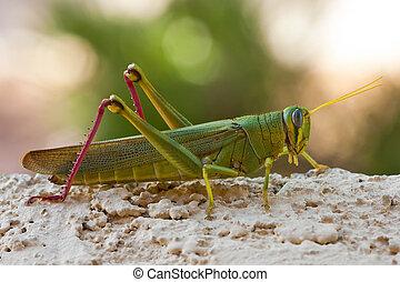 verde, saltamontes, con, largo, antenas