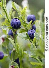 blueberry - forest product - Close-up of the blueberry...