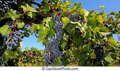 Vintage black grapes - Rich harvest of black grapes.