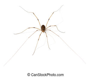 Arachnid - Daddy Long Legs Opiliones or Harvestmen