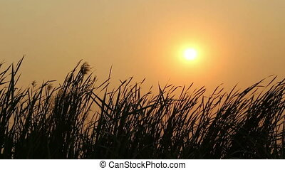 silhouette grass flower on sunset background