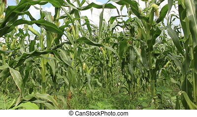 corn field background - corn field on Cloud background