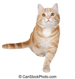 Red domestic cat from the front isolated