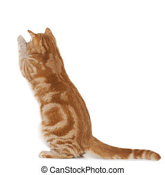 Red domestic cat standing on its legs isolated
