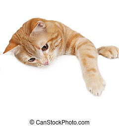 Red domestic cat hanging across a white board isolated