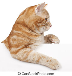 Red domestic cat looking sideways isolated