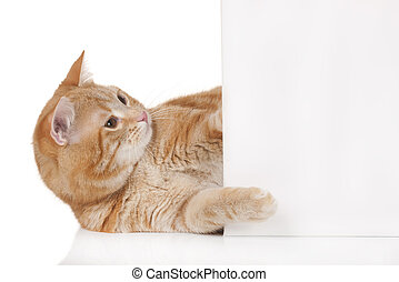 Red domestic cat isolated