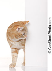Red domestic cat looking around a corner  isolated