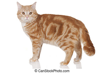 Red domestic cat standing sideways isolated