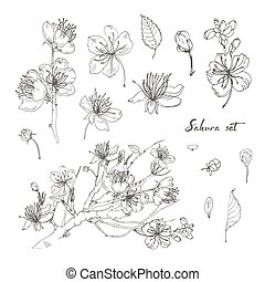 Realistic sakura hand drawn set with buds, flowers, leaves, branch. Contour vintage style illustration.