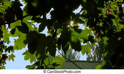 Maple tree - The sun slowly breaks through the maple leaves....