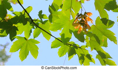Branch of maple leaves