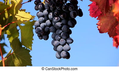 Ripe bunch - Black grapes weighs on a branch against the...