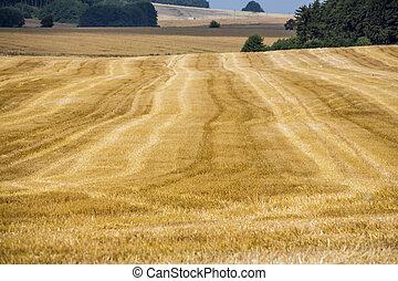 cornfield in summer - a field of grain in summer. harvest in...