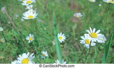 Flowering chamomile field on a meadow in summer