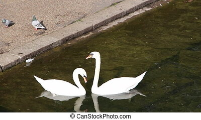 Couple of swans making heart shape
