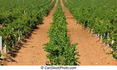 Properly planted grapes - Huge fields of grapes planted in...