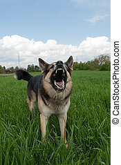 dog warning - a shepard guard dog warning and showing its...