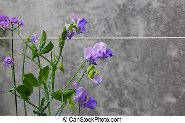 Purple Peas Flower - Purple peas flower on the wall with a...