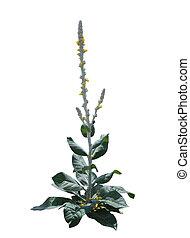 Verbascum thapsus flower Plant - Great Mullein Verbascum...