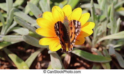 closeup of butterfly sit on a flower - Shot of closeup of...