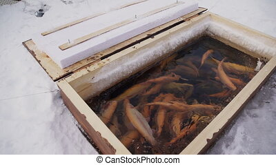 Homemade wooden aquarium in snow on fishing trip outdoors....