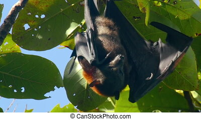 Flying fox hanging on a tree branch and washing up