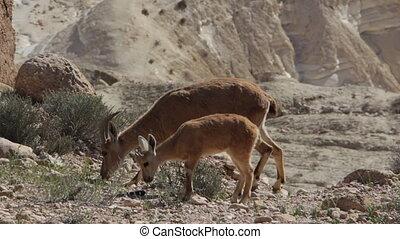 Capra ibex nubiana near Mitzpe Ramon - Shot of Capra ibex...