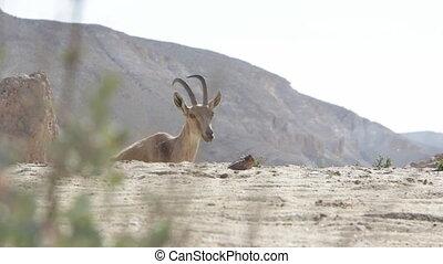 Capra ibex nubiana in Israeli desert - Shot of Capra ibex...