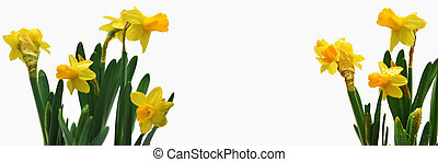 Abstract composition of yellow daffodils.
