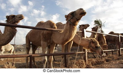 Camels on a ranch chewing their cud - Shot of Camels on a...