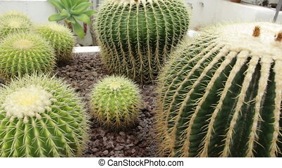 Cactus growing in a greenhouse - Shot of Cactus growing in a...