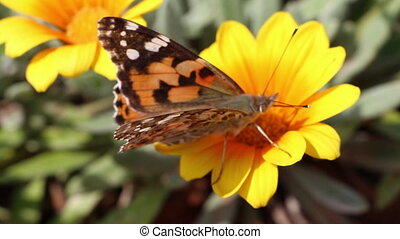 butterfly on a yellow flower - Shot of butterfly on a yellow...