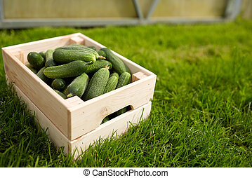 cucumbers in wooden box at summer garden