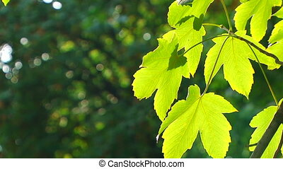 Maple leaves in the forest - Beautiful green maple leaf....